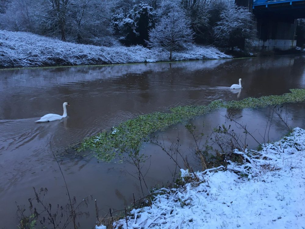 Swans on the weaver